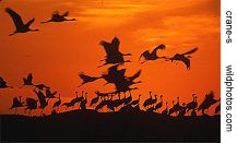demoiselle cranes at sunset, Rajasthan