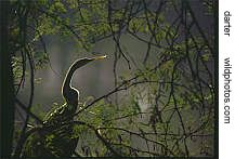 a backlit darter in Bharatpur