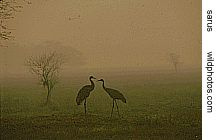 sarus crane pair in Bharatpur on a winter morning