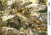 camouflaged tiger resting in dried Sal leaves & rocks, Bandhavgarh, M.P.